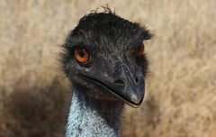 Emu (Uhlenhorst) Tags: 2011 australia australien animals tiere birds vögel travel reisen ngc