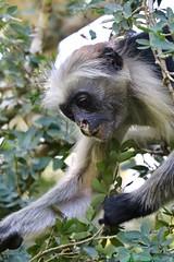 Zanzibar (cheryl c) Tags: monkey zanzibar jozani redcolobus
