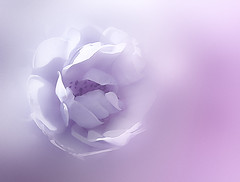 shades of purple (HocusFocusClick) Tags: rose flower purple shades softness soft fade nature art digitalart creation