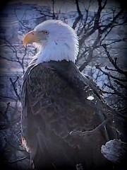 M5  - SCREENSHOT - 3-5-2019 (THE Halloween Queen) Tags: eagles eagle wildlife bald baldeagles nationssymbol patriotic