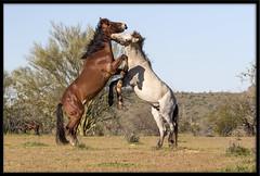 Wild Stallion Altercation (Lee_Marcus) Tags: wildhorse wildstallion mustang equusferus horse stallion altercation fight duel duking wildhorsefight wildstallionfight mustangfight arizona tontonationalforest desert mesa