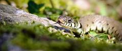 Grass Snake hunting (Alan McCluskie) Tags: grasssnake snake natrixnatrix britishsnakes britishreptiles reptiles snakes wildlife nature swindon canon7dmk2 sigma150600mmsp