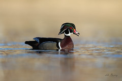 Wood Duck (johnbacaring) Tags: wildlife nature wood duck woodduck bird birds birding drake
