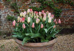 pink tulips in a pot (quietpurplehaze07) Tags: pot pink tulips octubre