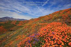 Oodles of Poppies Fill the Walker Canyon of Lake Elsinore, Calif (Bridget Calip - Alluring Images) Tags: 2019 alluringimagescolorado bridgetcalip california californiapoppies lakestreet riversidecounty scenicbyway superbloom usa walkercanyon allrightsreserved beautiful bloom blueskies botanical clouds copyrighted dramaticclouds field flora flower hiking hill landscape meadow orange outdoor plant poppyapocalypse poppygeddon recreation rollinghills sky southerncalifornia spring sunny touristattraction travel vibrant wild wildflowers