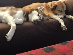 The couch is full of cute (Laramie_Coyote) Tags: dogs lexi sammy