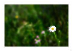 Una flor no hace primavera pero anima a las compañeras (V- strom) Tags: flor flower primavera springtime verde green blanco white amarillo yelow texturas textures nikon nikond700 nikon105mm nikon2470 vstrom flora
