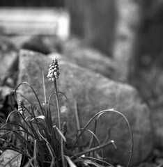 Sign of spring - muscari armeniacum (Rosenthal Photography) Tags: treu rolleiflex35f rodinal15020°c11min 20190401 6x6 schwarzweiss ilfordrapidfixer asa400 epsonv800 garten mittelformat frühling ilforddelta400pro städte familie traubenhyazinthe märz anderlingen analog ff120 dörfer siedlungen march spring garden marco muscariarmeniacum muscari armeniacum flower plant mood rollei rolleiflex 35f f35 75mm sk schneiderkreuznach xenotar rollinar rollinar2 ilford delta pro400 rodinal 150 epson v800
