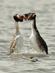 Courting Couple. (noelbarke) Tags: birds great crested grebes male female courting dance attenborough nature reserve nottingham wildlife trusts noel barke mating ritual podiceps cristatus diver lakes water couple