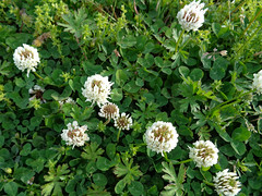 Clover In The Lawn. (dccradio) Tags: lumberton nc northcarolina robesoncounty outdoor outside outdoors grass lawn greenery yard ground clover flower flowers floral weeds nature natural march spring springtime sunday sundaymorning goodmorning morning sony cybershot dscw830