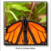 Andreas Kalbow Monarchfalter Danaus plexippus 2019 Madeira (5)