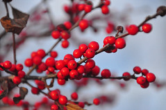 winter wishes (christiaan_25) Tags: winterberry ilexverticillata hollyfamily berries red round full plant wild nature native winter stems branches