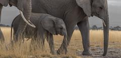 _A130174 (BergsPix) Tags: elephants africa kenya safari amboseli masaai mara samburu tusks mammals