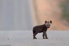 Lost? (leendert3) Tags: leonmolenaar southafrica krugernationalpark wildlife nature mammals hyena ngc npc