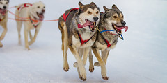 Dog-Sled Racing - 2 (Traveller_40) Tags: animal cold couple dog dogsled dograce fell gespann hund hundeschlitten hundeschlittenrennen huskey inzell musher race racing schnee sled snow sonne winter zunge all4up clrearly difference fliegen fly lead outdoors racecourse second similar sledge sleding tongue