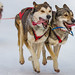 Dog-Sled Racing - 2