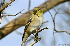 American Goldfinch_5001 (Roger Kiefer) Tags: birds nature wildlife outdoors backyard animals american goldfinch