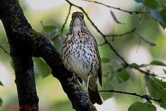 Grive musicienne Turdus philomelos Song Thrush (Ezzo33) Tags: france gironde nouvelleaquitaine bordeaux ezzo33 nammour ezzat sony rx10m3 parc jardin oiseau oiseaux bird birds specanimal grivemusicienne turdusphilomelos songthrush