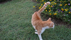2015-09-20_18-10-48_ILCE-6000_DSC00282 (Miguel Discart (Photos Vrac)) Tags: 2015 34mm animal animalphotography animals animalsupclose animaux cat cats chat chats colakli e1670mmf4zaoss focallength34mm focallengthin35mmformat34mm holiday hotel ilce6000 iso250 kamelya kamelyaworld nature naturephotography pet sony sonyilce6000 sonyilce6000e1670mmf4zaoss summer turkey turquie vacance vacation