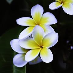 Yellow and White Frangipani (Matt. C) Tags: frangipani flower nsw yellow white color nikon d750