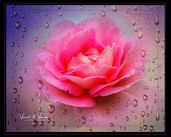 """Rose and Rain Drops (Visions by Vincent) Tags: rose flowers florida ringlingmuseum topaz texture floralart """"doublefantasy"""""""