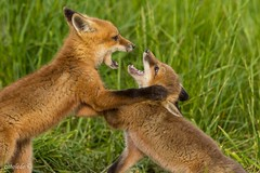 Kids, kits, all the same games (EXPLORED) (catoledo) Tags: 2016 bombayhookwildlifepreserve redfoxkits den playing smyrna delaware unitedstates us mpt688 matchpointwinner