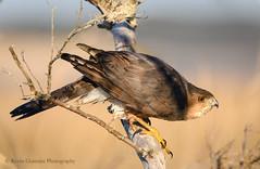 Cooper's Hawk (Kevin James54) Tags: accipitercooperii coopershawk nikond850 tamron150600mm wilmington animals avian bird fortfisher kevingianniniphotocom