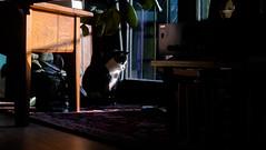 target acquired (MobyRichard) Tags: cat portrait kat poes lola pentaxsmc50mmf17 fujixt1 fujifilm