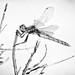 Variegated Meadowhawk (Sympetrum corruptum) Dragonfly