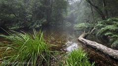 Jubilee Creek Misty Morning (Panorama Paul) Tags: paulbruinsphotography wwwpaulbruinscoza southafrica southerncape gardenroute knysnaforest jubileecreek indigenousforests nikkorlenses nikfilters nilon d850