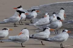 Royal Terns, Malibu Lagoon, CA CQ4A4054 (Hart Walter) Tags: malibulagoon legacypark royaltern brownpelican grayplover marbledgodwin