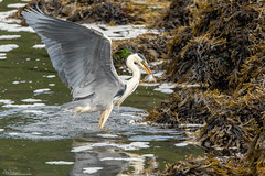 Grey Heron Fishing (Steve (Hooky) Waddingham) Tags: animal amble planet countryside coast nature northumberland fishing flight wild wildlife
