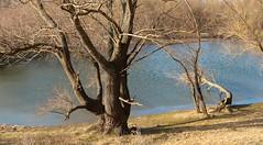 019Feb 28: Devin Floodylake Winter (Johan Pipet 2M+ views) Tags: flickr lake jazero devin devín bratislava tree water strom voda floodylake winter zima nature sunny slovakia slovensko eu europe palo bartos bartoš canon g7x markii