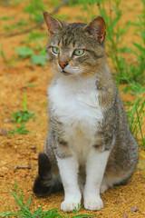 cat (iron_doji) Tags: cat canon550d georgia amazing animal canon 75300mm beautiful animals garden nature forest nice cats ears pet ostashkov grass nose wool eyes mustache