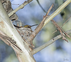 3J3A7269 7D Mark ll Tamron 150-600mm G2 Anna's Hummingbird (greaves_russell) Tags: bigmorongocanyonpreserve boxcanyonrd nature animals fitness travel sprint overstock people music flickr dancingwiththestars games oops bing foxnews espn cars target bestbut bolsachicawetlands wildlife jobs locations typesofclothing professions days hours minutes dog cat fish bird cow moon world earth forest sky plant wind flower amazon ocean river mountain rain snow tree sanjoaquin anzaborrego huntingtonbeach disneyland knottsberryfarm sandiego forsterstern landscapewhitewater civilwarreenactment reflection airtankerbasenortonsanbernardinointiairport beecht34cturbomentor45usanavy vansusopenofsurfing