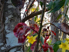 Tree, Leaves And Carolina Jessamine. (dccradio) Tags: lumberton nc northcarolina robesoncounty outdoor outdoors outside nature natural flower floral flowers vine yellow yellowflowers yellowflower leaf leaves foliage plant carolinajessamine march friday fridaynight fridayevening evening spring springtime red redleaves redleaf sky