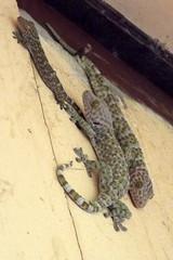 Gekko gecko (Linnaeus, 1758) Gekkonidae-Tokay, Gecko, Calling gecko-ตุ๊กแก (SierraSunrise) Tags: animals esarn gecko isaan lizards nongkhai phonphisai reptiles thailand
