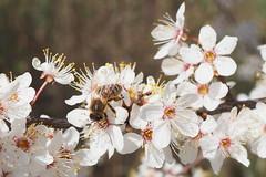 A honey bee working on flowers of the Blackthorn tree. (Bienenwabe) Tags: flower blaackthorn tree spring springflowers blackthorn prunusspinosa prunus bee honeybee apis apismellifera apiaceae honigbiene biene