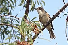 Grey Butcherbird (Rodger1943) Tags: buthcherbirds greybutcherbird australianbirds sonyrx10m4