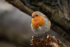 Small yet Bold (Rob Blight) Tags: robin europeanrobin cute small wild bird smallbird wildlife fauna nature friendly rotkehlchen nikond850 d850 500mm 500pf pf nikon500mm winter britishwinter britishwildlife