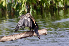 Anhinga anhinga (mazama973) Tags: bird oiseau frenchguiana guyane guyanefrançaise anhingidae anhinga anhingaanhinga anhingadamérique