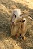 Bock (gripspix) Tags: 20180429 spring frühling archiv goat animal tier bock ziegenbock zwegziege