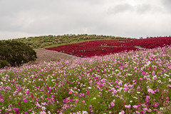 Kochia Hill - 4700 (justl.karen) Tags: hitachiseasidepark ibaraki japan 2018 kochia redbush