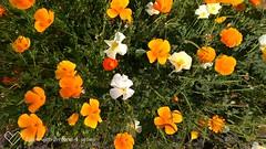 Amapolas de California (felipe de la cruz) Tags: flores amapolas amarilla