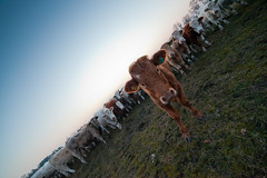 MårtenSvensson_029_IMG_4920 (Bad-Duck) Tags: husdjur jordbruk köttko bete betesmark ko kor kväll köttras natt vinter