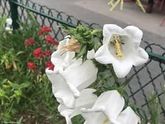 fleur-blanche© (alexandrarougeron) Tags: photo alexandra rougeron flickr fleurs nature plante végétal végétale ville beauté couleur frais