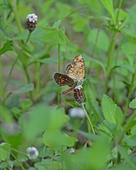 Pearl crescent pair (justkim1106) Tags: butterfly pearlcrescent nature wildlife wildflower texasnativeplants texasnativeinsect insect wingedinsect