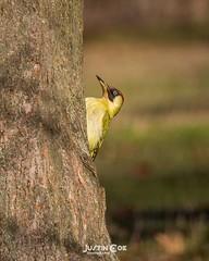 Mr Green woodpecker holding on to tree trunk.• • • • • #birds #birdsofinstagram #bird #birdwatching #birdphotography #your_best_birds #birding #birdstagram #nuts_about_birds #wildlifephotography #kings_birds #bestbirdshots #wildlife #allmightybirds #feath (justin.photo.coe) Tags: ifttt instagram mr green woodpecker holding tree trunk• • birds birdsofinstagram bird birdwatching birdphotography yourbestbirds birding birdstagram nutsaboutbirds wildlifephotography kingsbirds bestbirdshots wildlife allmightybirds featherperfection instabirds instabird birdlovers birdfreaks pocketbirds birdextreme greenwoodpecker justinphotocoe lumixg9