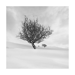 Three hawthorns! (Nick green2012) Tags: trees snow minimalist silence square landscape blackandwhite
