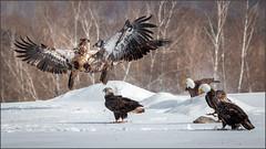 (c)WMH_2019_02_14_5686 Eagles at Play (WesleyHowie) Tags: americanbaldeagle birds sheffieldmills canada location raptor wildlife novascotia